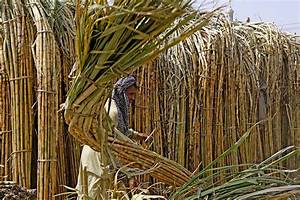 Cane Farmers Burning Crops Due To Low Price