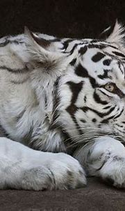500px / Awake eye of a white bengal tigress Kali by sergei ...