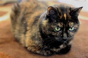 pictures of tortoiseshell cats what is a tortoiseshell cat breed cbwp