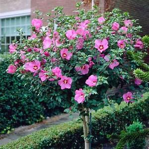 Hibiskus Stämmchen Kaufen : hibiskus eibisch pflanzen pflegen und tipps mein sch ner garten ~ Buech-reservation.com Haus und Dekorationen