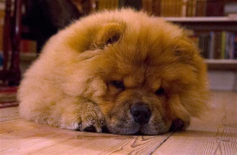 Chow Chow Tre Maneder Gammel Three Month Old Soren