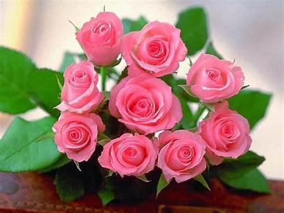 Rose Roses Wallpapers Desktop Pink Flower Pc