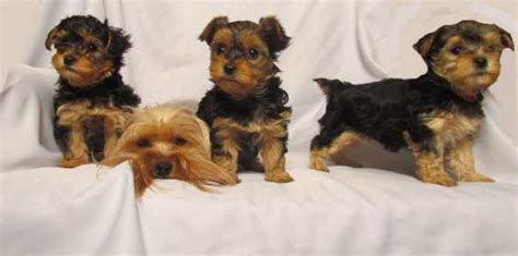 Do Yorkie Poos Shed Hair by Yorkie Poo Breed Profile Of The Yorkie Poodle Mix