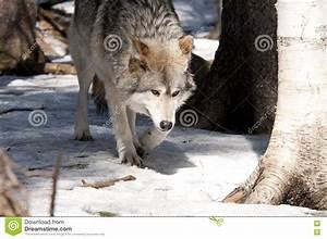 Wolf, Stock, Photo, Image, Of, Wolf, Mammal, Animal, Wildlife