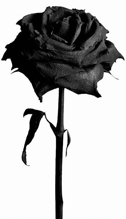 Roses Blackrose Forgetmenot