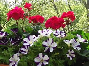 Balkonpflanzen Hängend Pflegeleicht : balkonbepflanzung pflegeleicht und sch n gartenelfe ~ Lizthompson.info Haus und Dekorationen