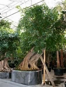 Ficus Ginseng Kaufen : ficus arten benjamina nitida pandurata lanceolata microcarpa allii bonsai kaufen pflanzen shop ~ Sanjose-hotels-ca.com Haus und Dekorationen