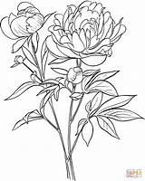Coloring Peony Pages Officinalis Paeonia European Common Drawing Printable Crafts sketch template