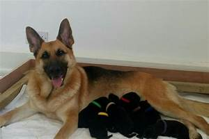 german shepherd puppies for sale ready to leave ilford With german shepherd dog house for sale