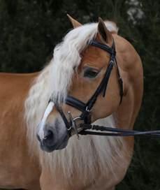 New Horizons Haflinger Horses