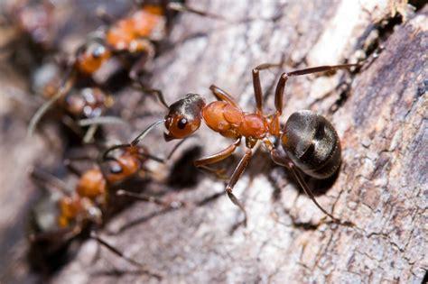 Eliminare Le Formiche by Come Eliminare Le Formiche Specie E Rimedi Naturali