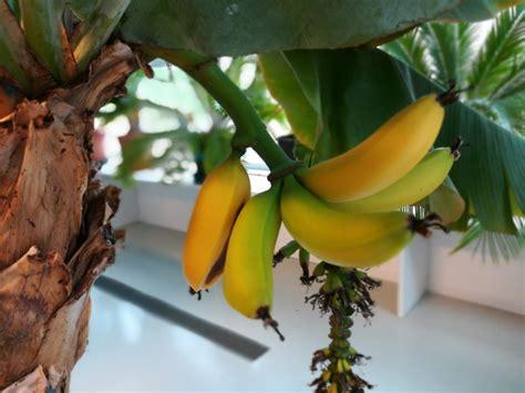 Pianta Di Banana In Vaso by Banano In Vaso Fruttifica In Trentino Guinness Dei