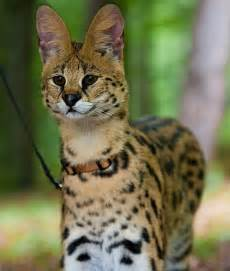 serval cat 10 animals that are becoming domesticated pets