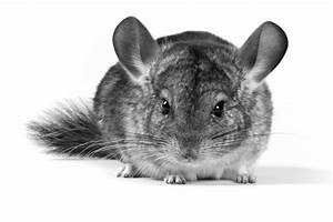 Chinchilla History And Care Recommendations