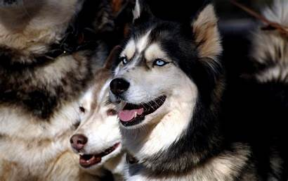 Husky Siberian Puppies Background Animal Chainimage