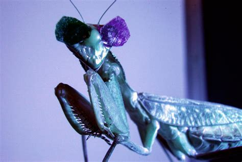 These Praying Mantises Wear Tiny 3d Glasses—for Science
