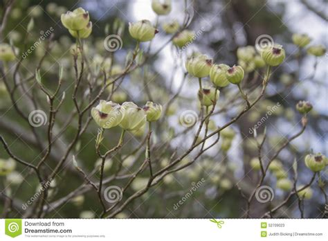 tree with white buds white dogwood tree flower buds stock photo image 52709023