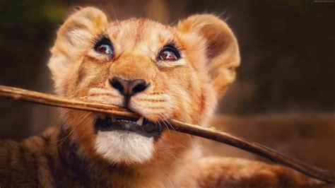 wallpaper lion funny animals  animals wallpaperbacknet