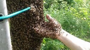 Essaim De Frelon : essaim d 39 abeilles dans le morbihan ~ Melissatoandfro.com Idées de Décoration