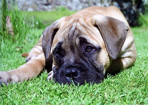 do bullmastiffs shed a lot miblog may 2008 archives