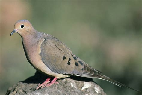 close up of mourning dove bird standing on rock zenaida