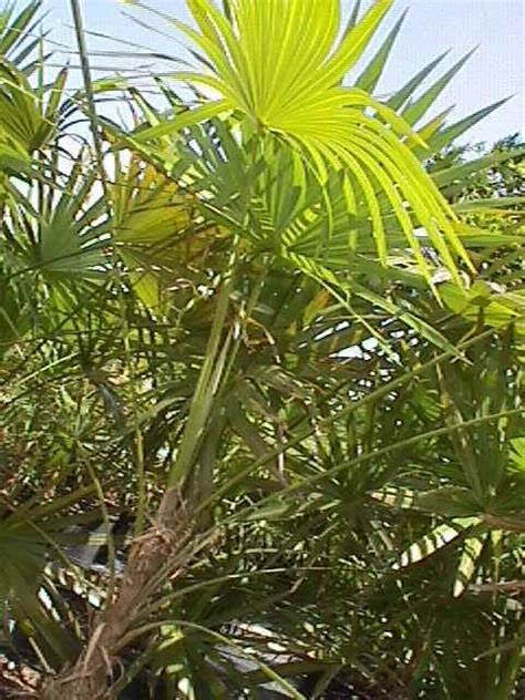 tropical plants zone 7 37 best images about tropical plants zone 10 on pinterest tropical gardens perennials and resim