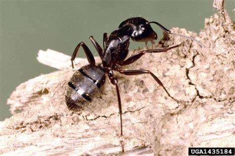 carpenter ants mid missouri pest information ants steve s pest control