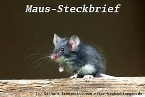 Fressen Igel Mäuse : tiersteckbriefe hund katze maus gr e alter nahrung bilder natur beobachtungen ~ Orissabook.com Haus und Dekorationen