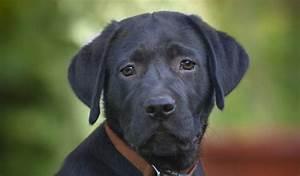 Labrador Life Span