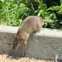 Trou Dans Le Jardin Rat by Lutter Contre Les Rats Taupes Entretien Jardin