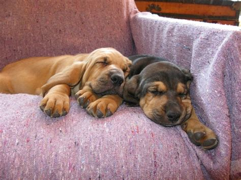 Bloodhound Puppy Pictures And Information Puppy Pictures