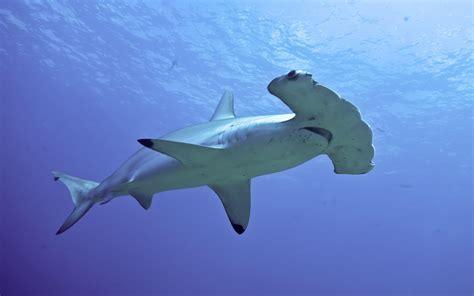 hammerhead sharks wallpapers wallpaper cave