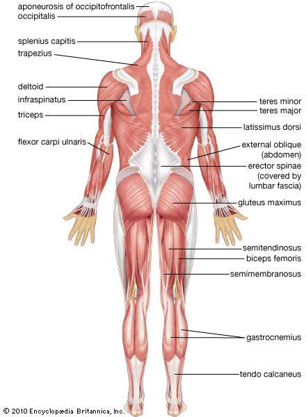 Rear View Of Shoulder Anatomy