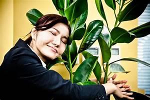 Gummibaum Verliert Blätter : gummibaum hat gelbe bl tter wo liegen die ursachen ~ Lizthompson.info Haus und Dekorationen