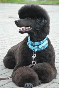 Andis Poodle Chart De 23 Bästa Pudelklippning Bilderna På Pinterest