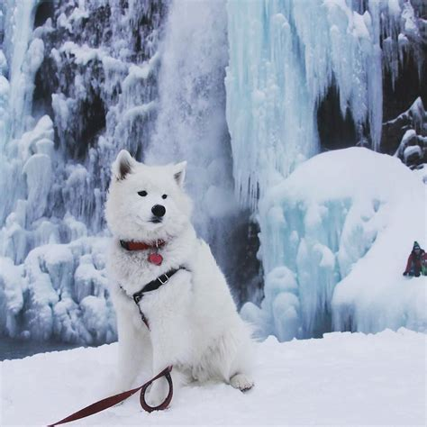 Pin By Marjorie Lake On Samoyeds Samoyed Dogs Dogs Samoyed