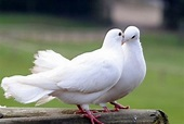 White Dove Meaning – What Does a White Dove Symbolize ...