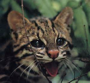 Margay Images of Families