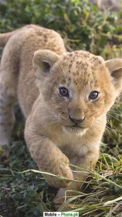 white lion cub wallpapers mobile pics