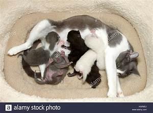 Weißer Wurm Katze : grau wei er tabby katze mutter sechs neugeborene krankenpflege schwarz grau und wei k tzchen ~ Markanthonyermac.com Haus und Dekorationen