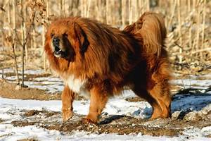 five large dog breeds that look like bears