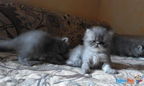 accoppiamento gatti persiani gatti persiani in vendita a novara no