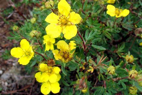 Klinšrozīte - Dasiphora fruticosa (syn. Potentilla ...