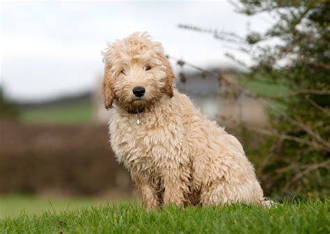 Do Cockapoo Mixes Shed by 9 Poo Breeds