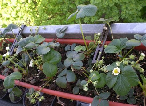 legumes en pot sur balcon l 233 gumes cultiver des l 233 gumes ou des fruits sur balcon pratique fr
