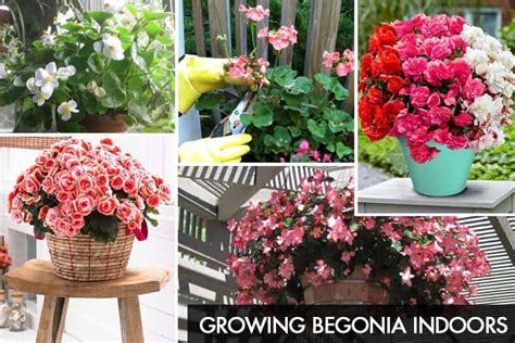 begonia care indoors growing begonia indoors begonia plant care tips gardenoid