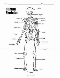 Free Printable Human Skeleton Worksheet | All Free ...