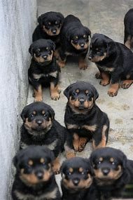 Best Rottweiler Puppies Ideas And Images On Bing Find What You