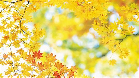 Fall Backgrounds Yellow by Hd Autumn Or Fall Wallpapers With Maple Leaves