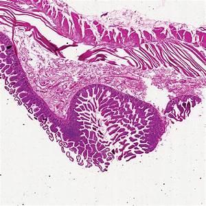 Human Jejunum  C S  7  U00b5m H U0026e Microscope Slide